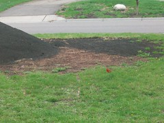 Red Cardinal Checking Out the Dirt Pile (cozmo54901) Tags: cardinal yardwork