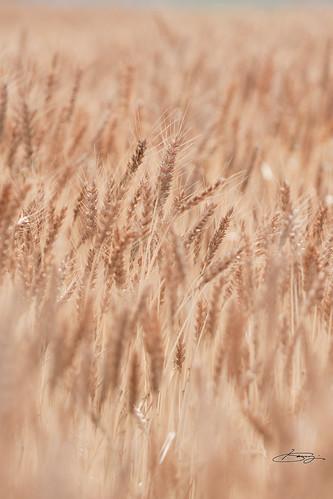 ソフトチックに麦畑。