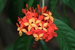 IMG_2637 (2) (jozef muylle) Tags: flowers philippines natuur bloemen filippijnen