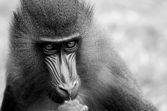 Mandrill (Colin Shepherd) Tags: park animal monkey wildlife south lakes cumbria primate mandrill