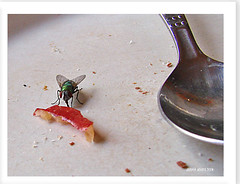 hungrige Fliege - hungry fly