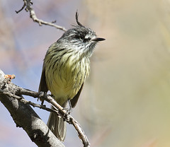 Cachudito (ik_kil) Tags: chile birds torito yerbaloca reginmetropolitana avesdechile anairetesparulus tuftedtittyrant santuariodelanaturalezayerbaloca cachudito anairetesparulusparulus