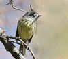 Cachudito (ik_kil) Tags: chile birds torito yerbaloca regiónmetropolitana avesdechile anairetesparulus tuftedtittyrant santuariodelanaturalezayerbaloca cachudito anairetesparulusparulus