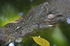 'Salty', Green Island, QLD, Australia (νesko) Tags: animals wildlife australia crocodile saltwater