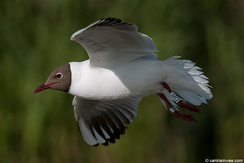 Black-headed Gull, >5cy, W[E5AC]