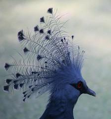 Her Majesty (ivlys) Tags: bird nature germany zoo dove frankfurtammain vogel victoriacrownedpigeon kronentaube ivlys columbacoronata