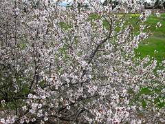 almond tree again