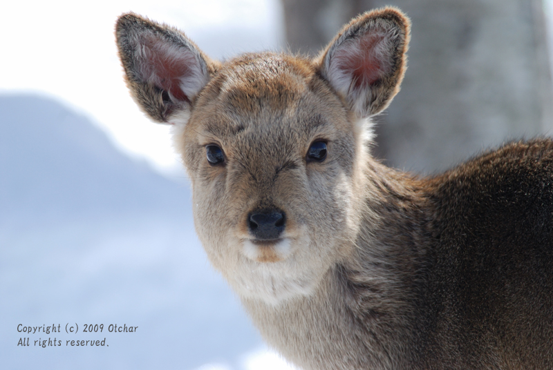 Yezo Sika Deer
