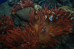 E il pagliaccio divent Nemo (Gret@kent) Tags: barca mare nemo genova porto anemone pesci acqua medusa acquario tartaruga pinguino vento foca delfino pagliaccio corde nodi corallo marinaio tensostruttura
