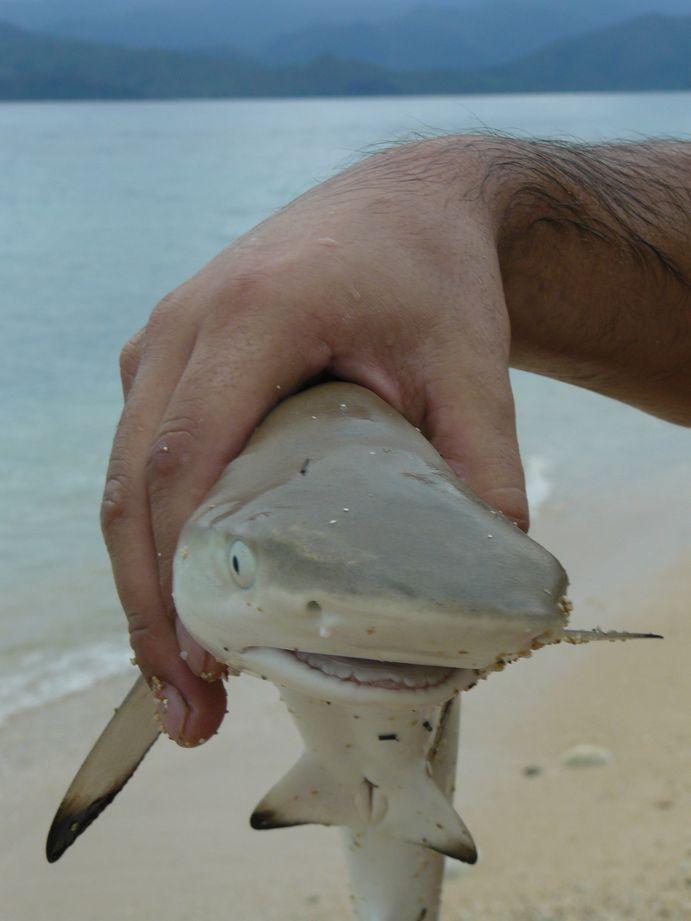 Francois et l'epervier #6 : le petit requin