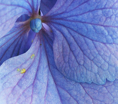 Hydrangea 26C, Colorado (sethgoldstein72) Tags: nature nikon bestofflickr blueflowers fotocommunity finegold greatphotographers spettacolare flowerscolors addictedtoflickr flowersflowersflowers macromania allwelcome bej fantasticflower beautifulcapture flickraward flowersgroup mycameraneverlies absolutelybeauty exemplaryshotsflickrsbest brilliant~eye~jewel aclassgroup flickrsheaven flowerorfoliagedetail flickrsfantasticflowers flickridol fiorispontanei macroelsalvador blueflowersonly wonderfulworldofmacro fioricolorati flickrsbestpictures flickrnumberone flickrovertheshot freeflickrflowers nikonflickraward simplythebest~flowers flickrflorescloseupmacros doubledragonawards amazingdetails superbestshotsonflickr flickrsbestseriousphotographers fullframeflowers elaromadelasflores asbeautifulasyouwant flowersonflickr macroandwonderfulshots coloursofflowers flowersmacrowaterdrops newgoldsealofquality beautifulfloras avesyflores flickrsgottalent mithopeesperana flowersexcellentcloseupsgroup dream20092010 friendsflickraward weloveallflowers blueiscoolandserene beautifulflowersgallery macroartnews photohobbylevel1 qualifiedmembersonlylevel1 thethreeangelslevel1blueangel qualifiedmembersonlylevel2 thethreeangelslevel2silverangel iwanttostareatthis ahugisworthathousandwords wonderfulworldofmacrolevel2 flickrstruereflection1 fivegoldstarslevel1 flickrsfinestimages1 floraonflickr bestevergoldenartists