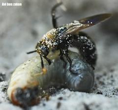 Parasitoid wasp - israel (avibenzaken) Tags: macro june bug wasp sting yam larvae  hymenoptera kiryat scarabaeidae spp sphecidae   eag  eags   parasitoid 40d scolia scoliidae scarabaeoidea thoracica  scolid  campsomeriella sexmaculata