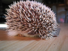 Marathon will spike you (Go! Shawn!) Tags: cute feet nose paw floor marathon adorable hedge hog quils erinaceinae