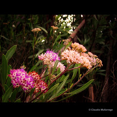 Nature, simply? / Naturaleza, simplemente? (Claudio.Ar) Tags: flowers light naturaleza flores santafe color luz nature argentina square topf50 artistic sony dsc pampa fff h9 magnumopus blueribbonwinner imagepoetry hbw myexplore fantasticflower gigashot abigfave crystalaward amazingamateur newacademy betterthangood theperfectphotographer thesuperbmasterpiece multimegashot allkindsofbeauty photoshopcreativo photoexel obq vosplusbellesphotos oraclex theperfectpinkdiamond alwaysexc mandalalight claudioar claudiomufarrege lesamisdupetitprince goldenart naturescreations phvalue magisterartium sensationalphoto betulasflower soulofphotography absolutegoldenmasterpiece artistictreasurechest imagesforthelittleprince musicbest flowerquest secretenchantedgardens sailsevenseas