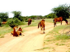 horses in garodi,somaliland (qaalibi_09) Tags: somaliland garodiregionofsalahlaycity