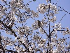 桜木にとまる鳥