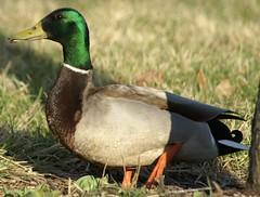 Duck Tail (ski_sarahjane) Tags: male female birdseed couple eating ducks together waterfowl mates myfrontyard springisintheair