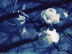 2009-03-26 037 REDO apricot blossoms (Badger 23 / jezevec) Tags: trees flower tree fleur forest log timber flor boom apricot   blume fiore albero arbre 2009 strom baum puno prunus bloem cais    albaricoque drzewo aprikose  albicocca    abricot abrikoos kvt aprikos vbr      aprikoosi   prunusarmeniaca   wabigon  alperce  parmeniaca badger23  abrikosas rvore rbol trd 20090326  aprikozes