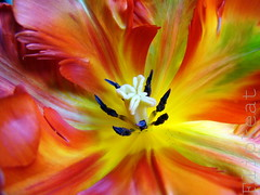 Feelin' Groovy (flipkeat) Tags: pink flowers red flower macro green fleur yellow flora different tulips unique gorgeous awesome parrot explore rococo 52mm feathered photoexplore natureselegantshots ahqmacro dsch50 awesomeblossoms 100commentgroup photographerparadise