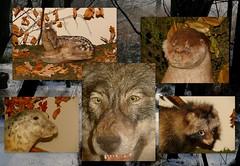 Kto zabi Bambi? / Who killed Bambi? (jjkason) Tags: bambi forest dead stuffed animals doe roe deer evil wolf wypchane martwe zwierzta lene sarenka zy wilk ronn moss ron asmus kola collage