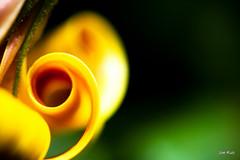 Curl, naturally (VTAtlas (Joe K.)) Tags: orange flower macro yellow curl osteopermum abigfave