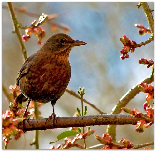 Miss Song Thrush in the cherry tree (365/295)