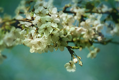 cherry blossom girl (-justk-) Tags: flowers copyright white nature cherry dof blossom allmyimagesarecopyrightedallrightsreserveddonotusecopyandeditmyimageswithoutmypermission