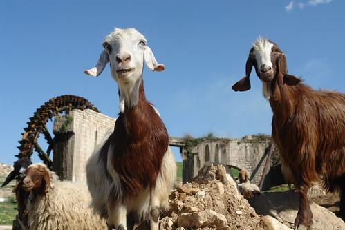 Goats at Sheizar noria