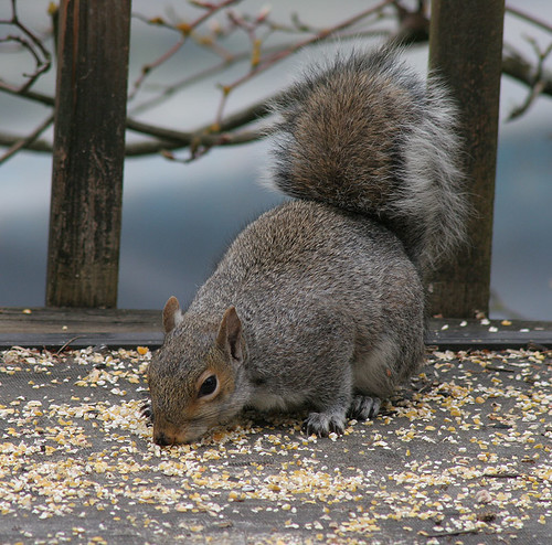 One of our local squirrels
