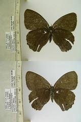 Yphthimoides leguialimai