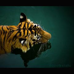 Malayan tiger in the water (1davidstella) Tags: d50 nikon southeastasia tiger malaysia borneo hpm wildlifepark outstandingshots flickrsbest malayantiger theunforgettablepictures vosplusbellesphotos imagesforthelittleprince musicsbest updatecollection platinumpeaceaward tigerinthewater