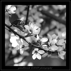 ... it was time ... (oliver's | photography) Tags: bw fleur photoshop canon eos flickr raw image blossom flor  adobe fiore blte copyrighted pixelwork blackwhitephotos april2009 canoneos50d sigma70200mmex28dgmacrohsmii pixelwork09photography oliverhoell allphotoscopyrighted