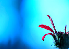 Happy. Imperfect. Happy (.I Travel East.) Tags: life pink blue light red flower macro nature azul petals cool nikon colours dof bokeh cyan depthoffield petal explore gerbera daisy bloom nikkor cgb depth carmine imago imperfect gerberadaisy d700 itraveleast imagoismthursday animagothursday happyimperfecthappy