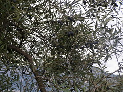 20090424 - Friday Olive Tree Blogging - 2
