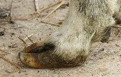 Hoof needs trimmed