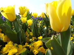Fiore d'aiuola (la foto di windows mi fa un baffo...) (salvofiguccia) Tags: italy flower fruit florence italian campo firenze michelangelo fiore frutta piazzale particolare fiorito