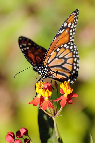 monarca sobre algodoncillo