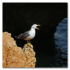 Look out theres a s0ulsurfing about (portugese gull powered early warning system) (s0ulsurfing) Tags: ocean light shadow sea cliff sunlight seagulls portugal nature water rock square coast focus rocks dof natural bright gull gulls shoreline beak cliffs coastal shore scream april getty coastline perched nautical algarve cry 2009 squared shout squawk s0ulsurfing pontadapiedade aplusphoto