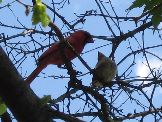 Cardinal And Infant