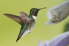 Colibri  Gorge Rubis / Ruby-Throated Hummingbird (RichardDumoulin) Tags: naturesfinest specanimal redthroatedhummingbird avianexcellence vosplusbellesphotos colibrigorgeruby