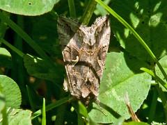 Autographa gamma (Le No) Tags: butterfly papillon noctuidae 31 hautegaronne midipyrnes stlon lauragais autographagamma