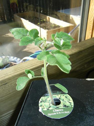 Cherry tomato plant in Aerogarden