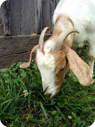 Goat buddy