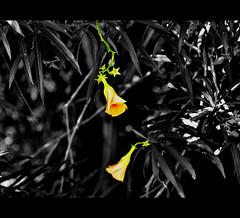 A Memory Ever Light (a.m.medina) Tags: flowers dedication selectivecolour earthasia bakonawa goodbyebyesunday adrianmedina centerframing