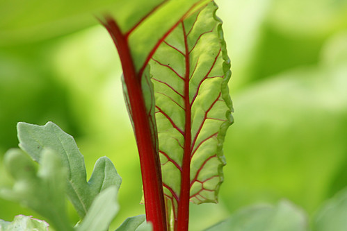 Beetroot leaf close up