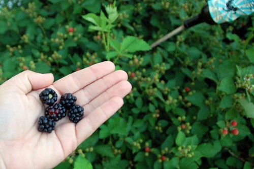 the first five blackberries