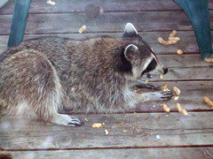 We get critters eating on our porch... (Testycatlady) Tags: raccoon