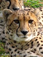 Cheetah (Phil_LeCren) Tags: park newzealand christchurch animal cat wildlife bigcat cheetah orana pjl oranawildlifepark flickrbigcats philnz1965 phillecren pjlphotography