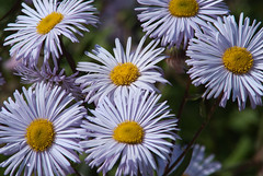 Photo of Aster