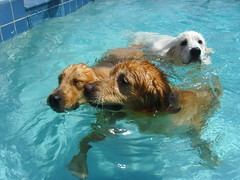 CPS Pool 9 (PolothePup) Tags: dogs pool swim goldenretriever greatpyrenees